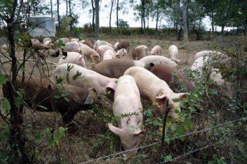 pig-farming-2