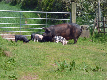 Pigs at Stoodleigh Barton Farm
