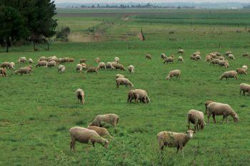 sheep-farming-1